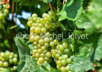 CH01 - Chardonnay